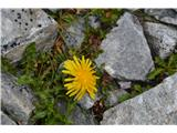 Katera rožca je to?Alpski regrat-Taraxacum sect. Alpina.