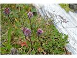 Katera rožca je to?Alpska suholetnica- Erigeron alpinus, pri nas najdem samo mnogolično.