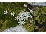 Katera rožca je to?Resasta popkoresa-Moehringia ciliata.