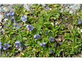 Katera rožca je to?Marjetični jetičnik-Veronica bellidioides.