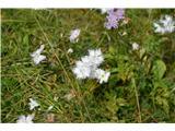 Katera rožca je to?Sternbergov klinček-skoraj bel.