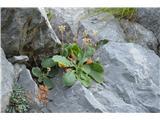Katera rožca je to?Spomladi cveti v teh skalah avrikelj.