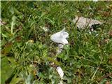 Katera rožca je to?albin