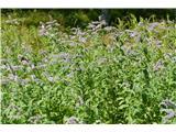 Katera rožca je to?dolgolistna meta; kar za mali travnik jo je bilo in dišalo je vse naokrog, še posebno metuljem
