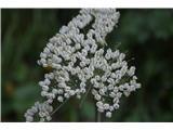 Katera rožca je to?Širokolistni jelenovec-Laserpitium latifolium.