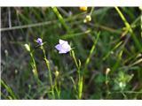 Katera rožca je to?Teh drobnih zvončic je bilo veliko v travi v Reklanski dolini.Bo kar scheuchzerjeva.