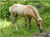 Robanov kot - Robanova planinapa še en mlajši konjiček