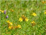 Robanov kot - Robanova planinana Robanovem travniku pa so ostale samo še šentjanževke
