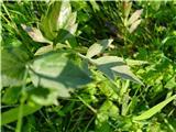 Katera rožca je to?list deljnolistne rudbekije