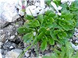 Katera rožca je to?listna blazina zvezdastega kamnokreča