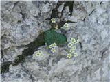 Katera rožca je to?še cvetoči sinjezelni kamnokreč
