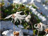 Katera rožca je to?frizure odcvetele alpske velese