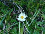 Katera rožca je to?edini primerek še cvetoče alpske velese