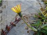 Katera rožca je to?po listih sodeč, mislim, da je Hoppejeva škržolica (podobna le še dolgodlakava)