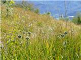 Katera rožca je to?kraški travnik z luki; bili so vsepovsod, tudi v gozdu