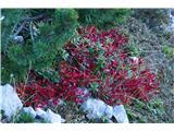 Katera rožca je to?alpski gornik- žal ni bil osončen in se zato ne sveti