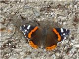 Sv. Primož nad Kamnikomše metulj Admiral se je grel na sončku