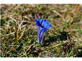 Velika planinaClusijev svišč pocvita v teh pomladnih temperaturah