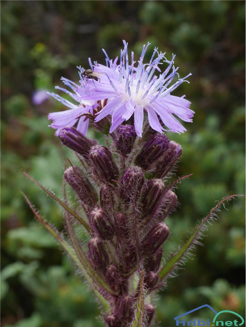 Navadna gorska ločika (Cicerbita alpina ali Mulgedium alpinum) - SlikaNavadna gorska ločika (Cicerbita alpina ali Mulgedium alpinum), foto Zlatica.