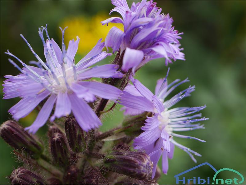 Navadna gorska ločika (Cicerbita alpina ali Mulgedium alpinum) - PictureNavadna gorska ločika (Cicerbita alpina ali Mulgedium alpinum), foto Zlatica.