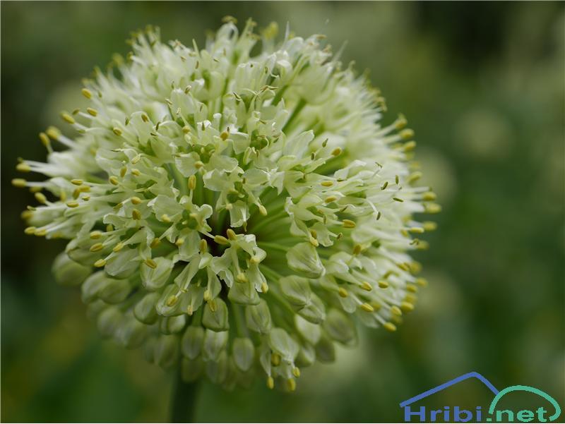 Vanež (Allium victorialis) - SlikaVanež (Allium victorialis), foto Zlatica.