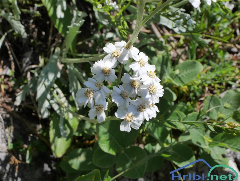 Planinski pelin (Achillea clavenae) - PicturePlaninski pelin (Achillea clavenae), foto Zlatica.