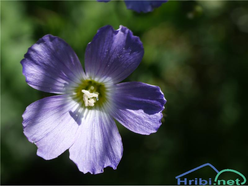 Julijski lan (Linum julicum) - PictureJulijski lan (Linum julicum), foto Zlatica.