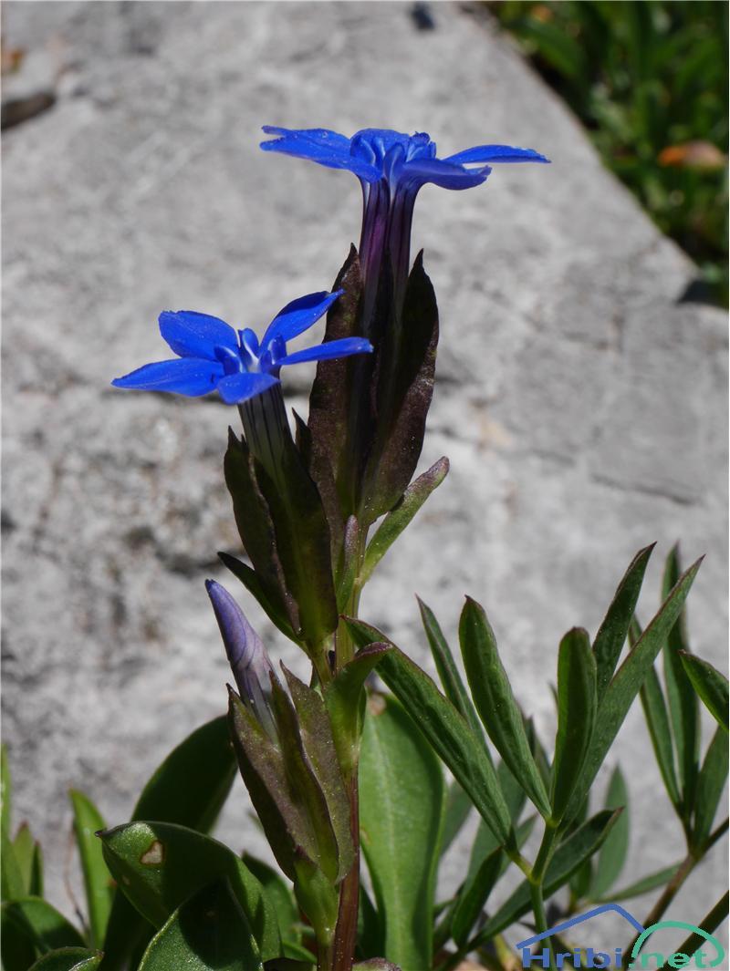 Trebušasti svišč (Gentiana utriculosa) - PictureTrebušasti svišč (Gentiana utriculosa), foto Zlatica.