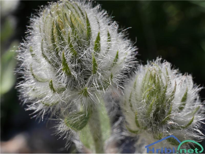Kosmata škržolica (Hieracium villosum) - SlikaKosmata škržolica (Hieracium villosum), foto Zlatica.