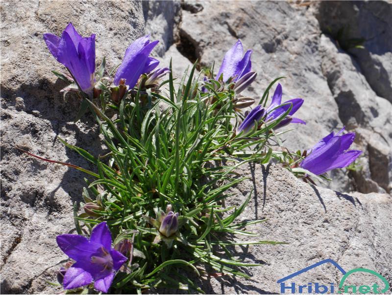 Travnolistna vrčica (Edraianthus Graminifolius) - SlikaTravnolistna vrčica (Edraianthus Graminifolius), foto Zlatica.
