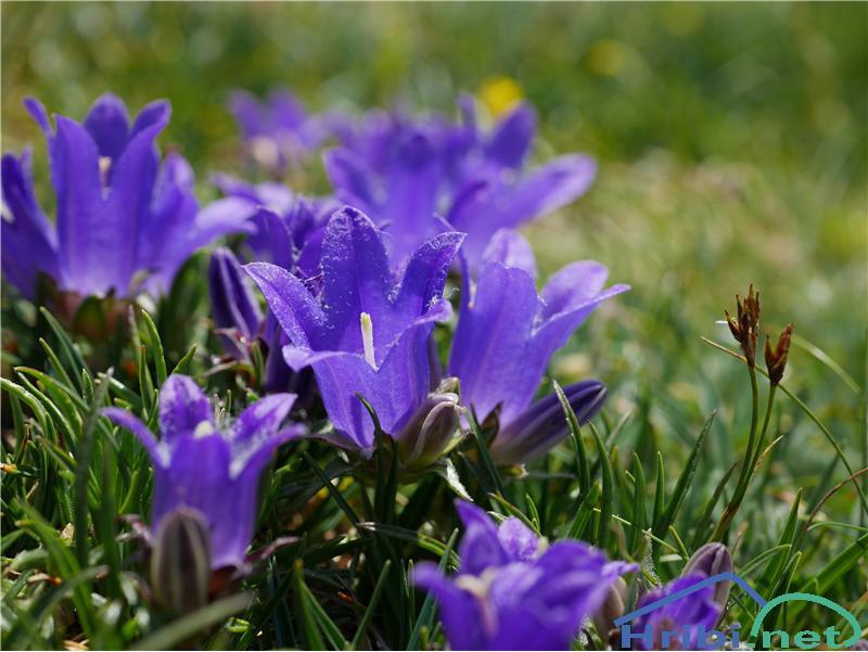 Travnolistna vrčica (Edraianthus Graminifolius) - PictureTravnolistna vrčica (Edraianthus Graminifolius), foto Zlatica.