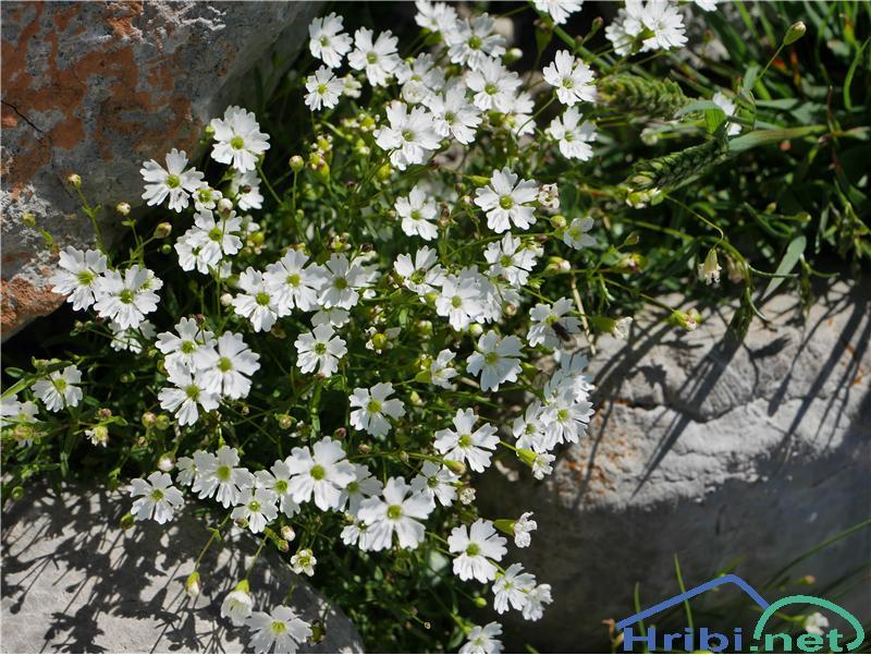 Planinski slanozor (Heliosperna alpestre) - PicturePlaninski slanozor (Heliosperna alpestre), foto Zlatica.
