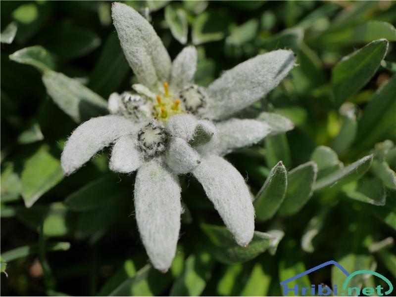 Planika ali očnica (Leontopodium alpinum) - PicturePlanika ali očnica (Leontopodium alpinum), foto Zlatica.