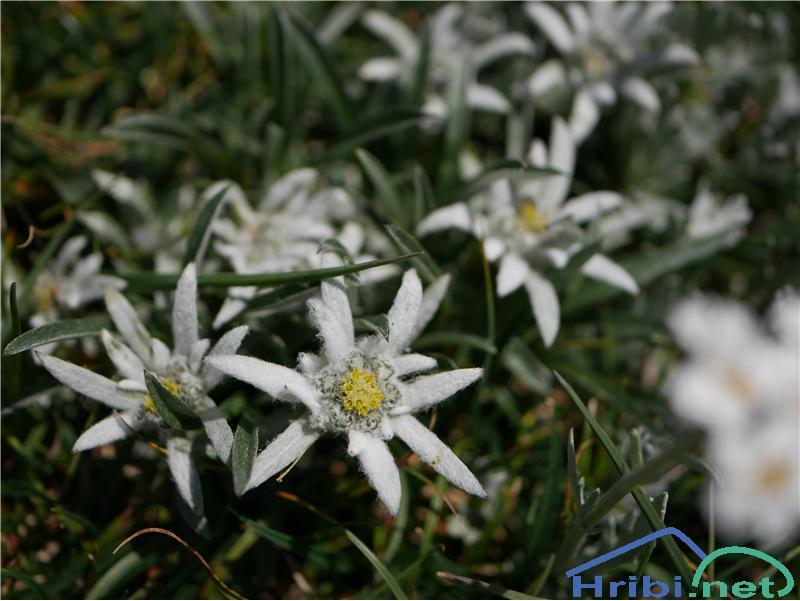 Planika ali očnica (Leontopodium alpinum) - SlikaPlanika ali očnica (Leontopodium alpinum), foto Zlatica.
