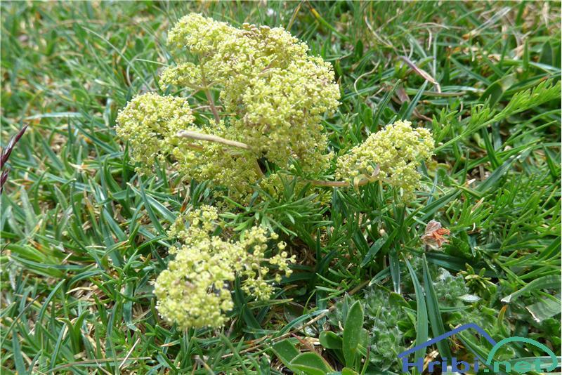 Kranjska trinija (Trinia carniolica) - SlikaKranjska trinija (Trinia carniolica), foto Zlatica.