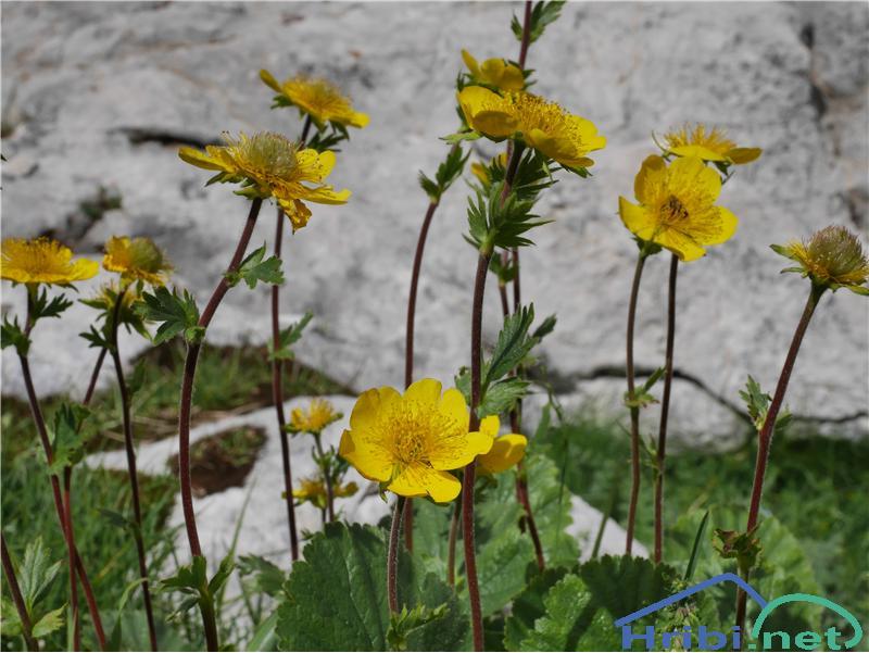 Gorska sretena (Geum montanum) - SlikaGorska sretena (Geum montanum), foto Zlatica.