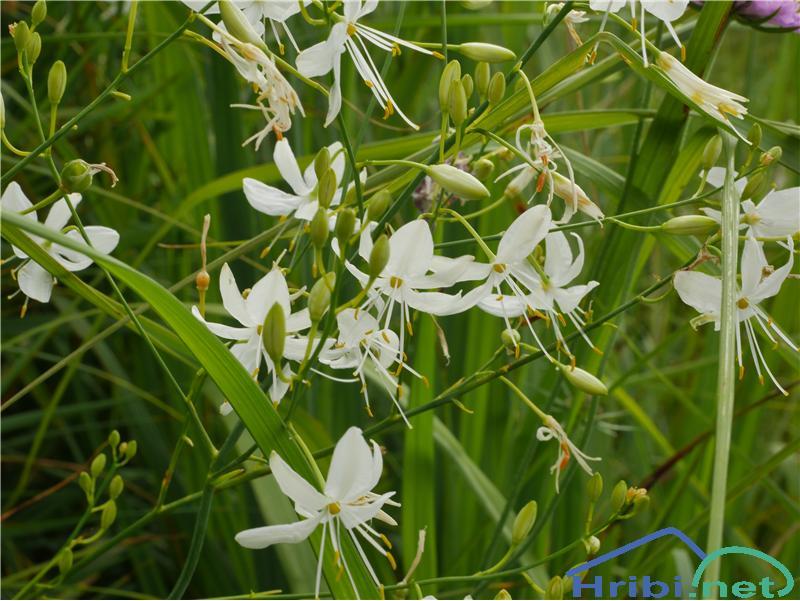 Navadni kosmuljek (Anthericum ramosum) - PictureNavadni kosmuljek (Anthericum ramosum), foto Zlatica.