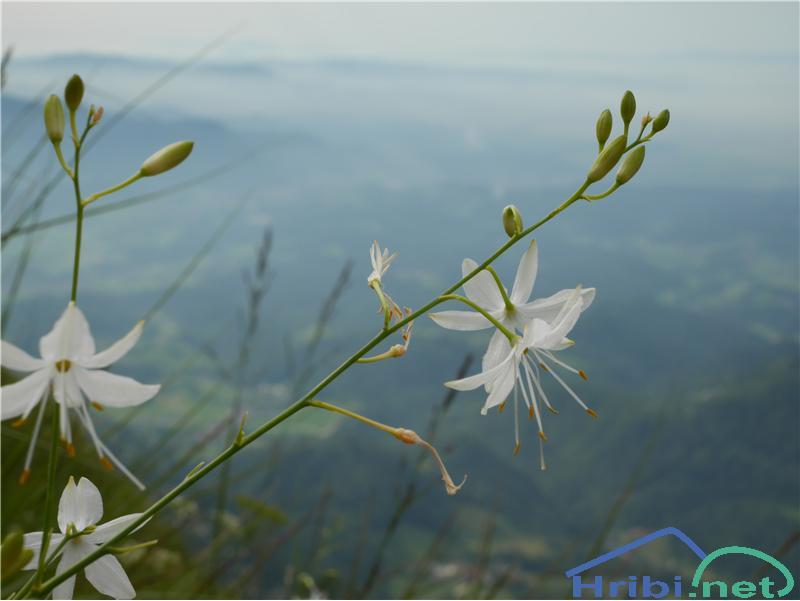 Navadni kosmuljek (Anthericum ramosum) - SlikaNavadni kosmuljek (Anthericum ramosum), foto Zlatica.