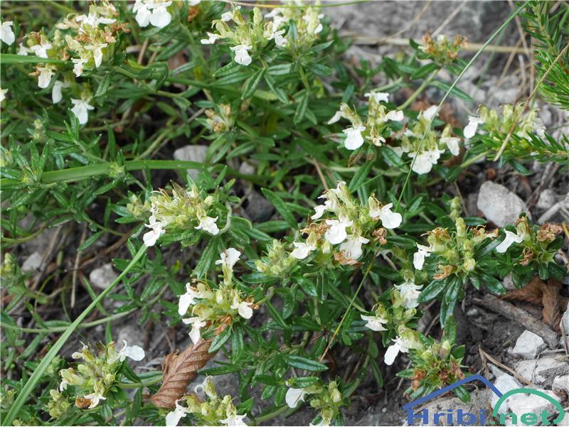 Gorski vrednik (Teucrium montanum) - PictureGorski vrednik (Teucrium montanum), foto Zlatica.