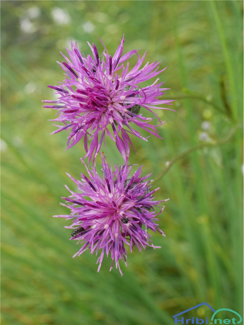 Fritschev glavinec (Centaurea scabiosa fritschii) - PictureFritschev glavinec (Centaurea scabiosa fritschii), foto Zlatica.