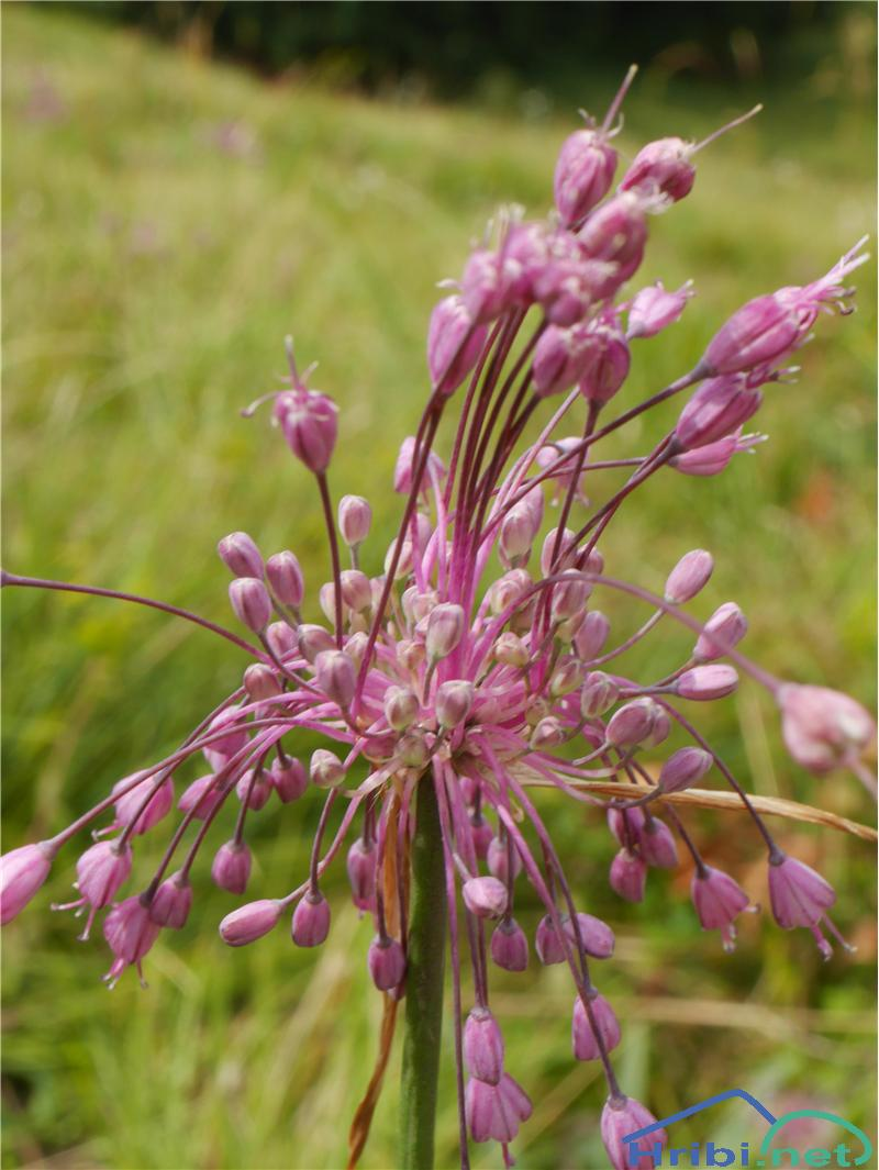 Lepi luk (Allium carinatum pulchellum) - SlikaLepi luk (Allium carinatum pulchellum), foto Zlatica.