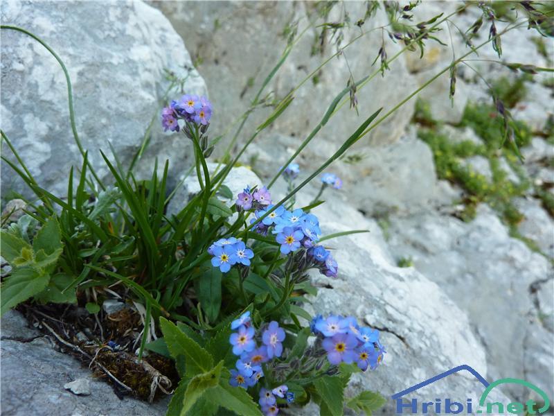 Planinska spominčica (Myosotis alpestris) - SlikaPlaninska spominčica (Myosotis alpestris), foto Zlatica.