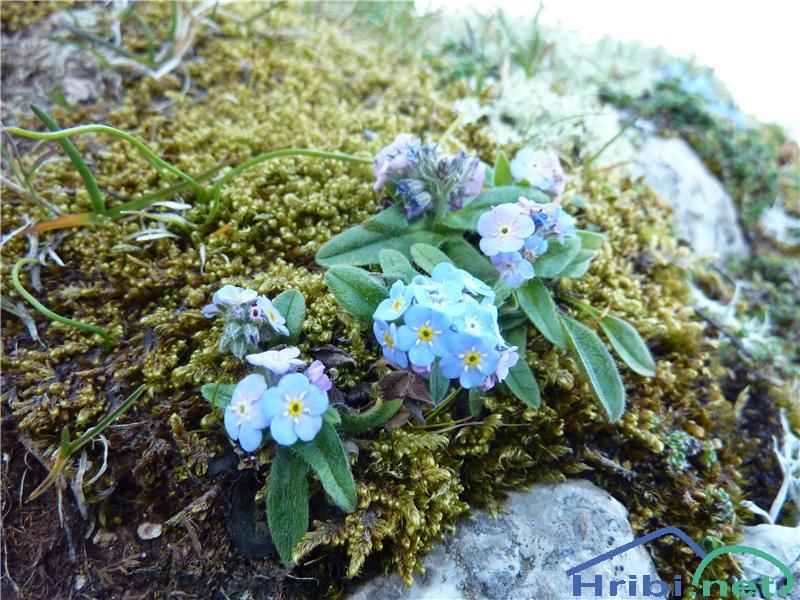 Planinska spominčica (Myosotis alpestris) - PicturePlaninska spominčica (Myosotis alpestris), foto Zlatica.