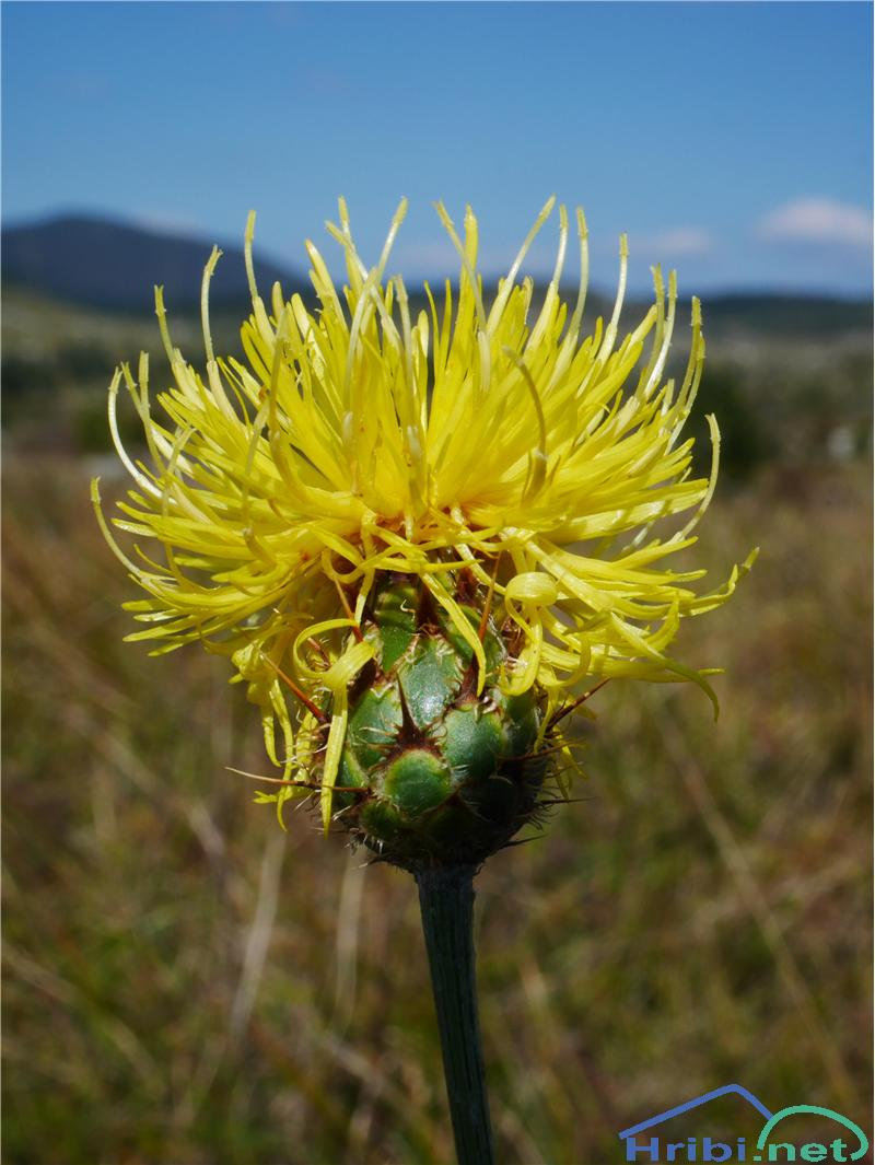 Skalni glavinec (Centaurea rupestris) - PictureSkalni glavinec (Centaurea rupestris), foto Zlatica.