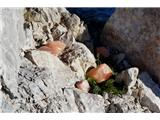 Špik nad nosom (Foronon del Buinz)Prijetno presenečenje. Dobre duše so kozorogom nastavile kameno sol