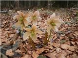 Belopeška jezera - Rifugio Zacchi pomladnega cvetja ne manjka