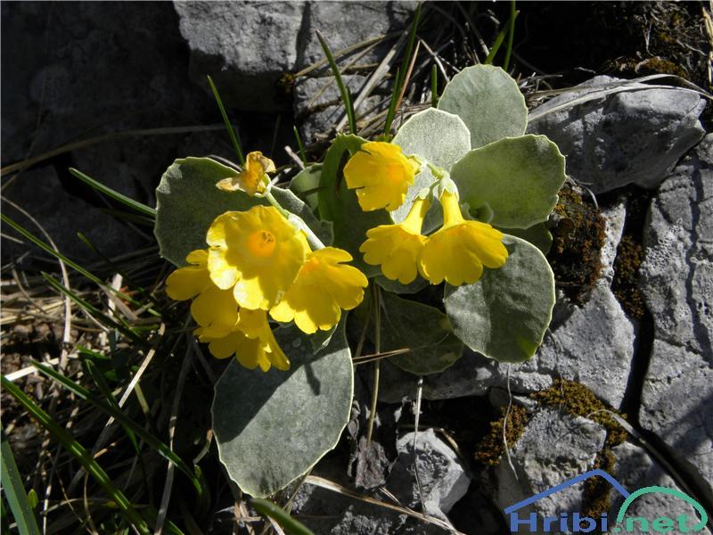 Lepi jeglič ali avrikelj (Primula auricula) - SlikaAvrikelj, slikan začetek maja na južnih pobočjih Črne prsti.