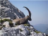 Bovški Gamsovecčuval pot do vrha Bavškega Gamsovca