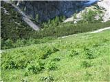 ZelenicaPrve letošnje krave na gorskem pašniku
