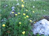 Katera rožca je to?Cel pašnik zlatih pogačic takoj nad planino Jezerce